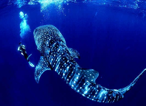 Whale shark--the largest shark in the ocean